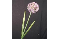 Allium Modellabile 55 Cm
