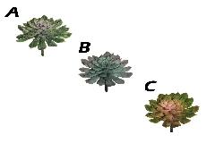 Pianta Echeveria Succulent D.15 Cm 19,5 Decorazione